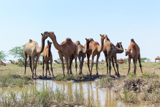 Camels near a puddle