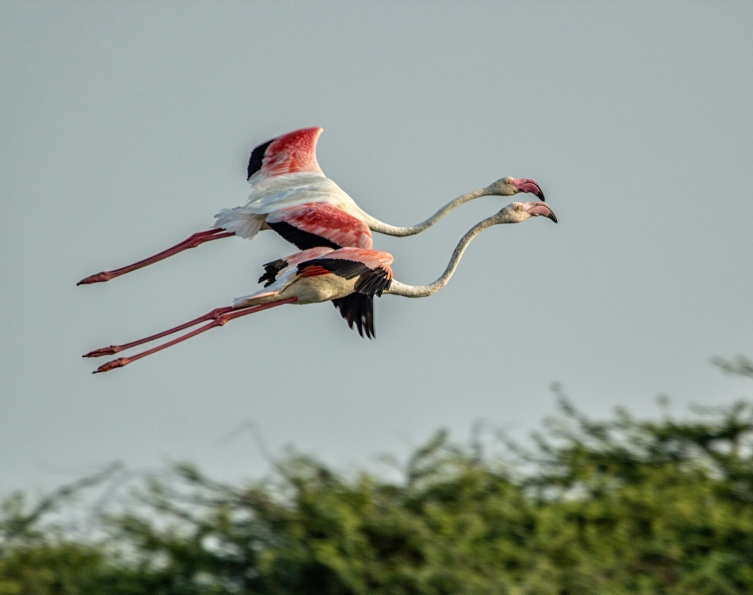 handofcolors_Flamingos in flight