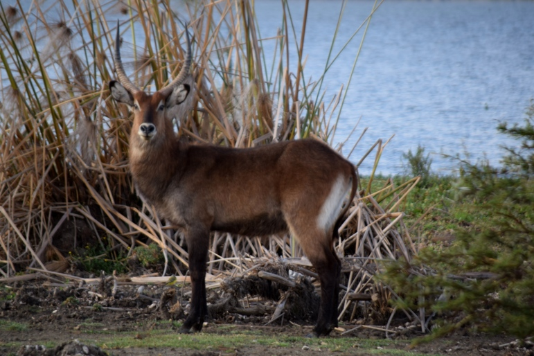 water buck@Lake Naivasha