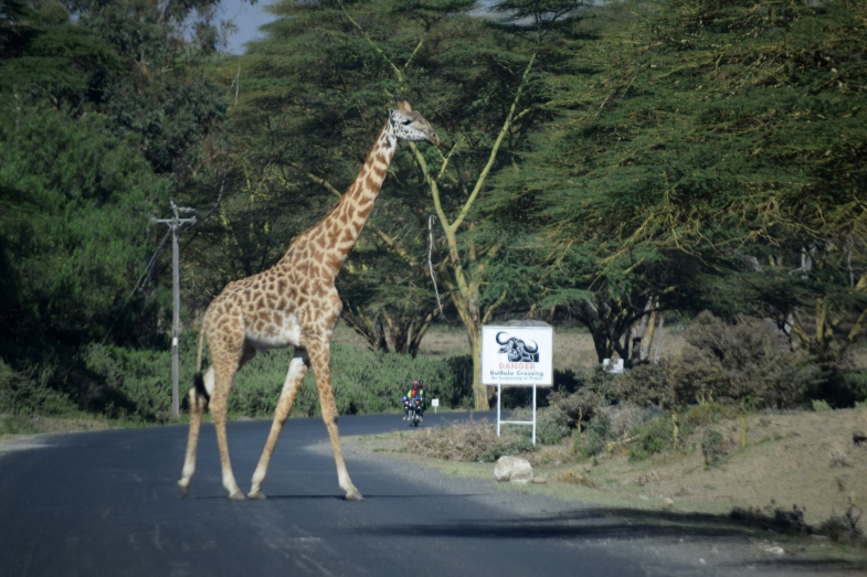 Giraffe on way to Lake Oliedon