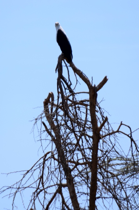 Mighty fish eagle