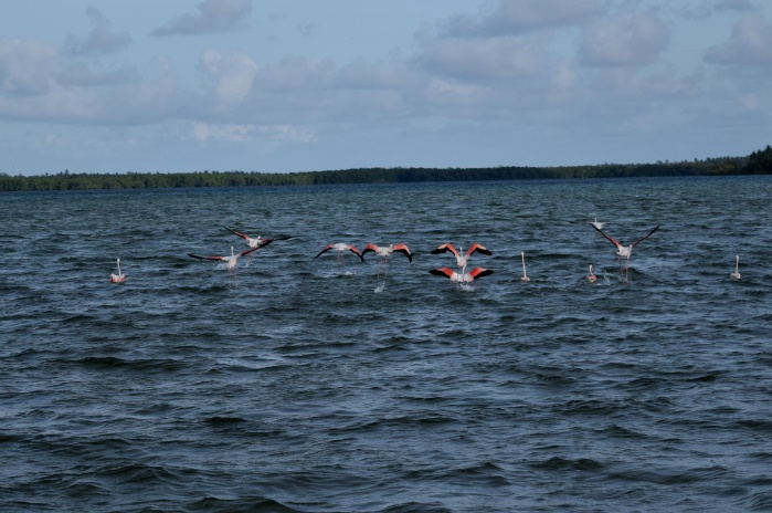Flamingos are an added attraction in Mida Creek_Watamu