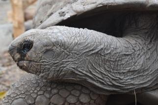 Alabadra tortoise