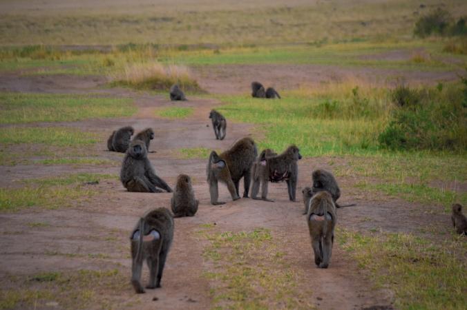 baboon_masaimara