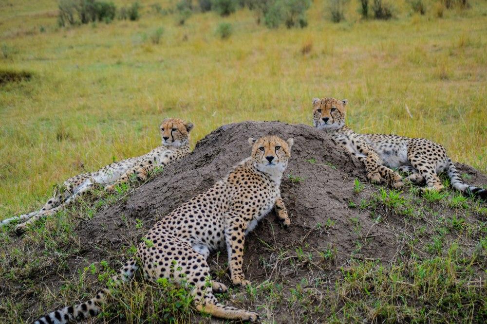 Cheetah family_masai mara