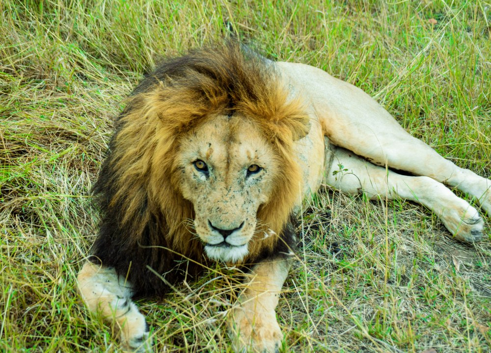 Lion_masaimara