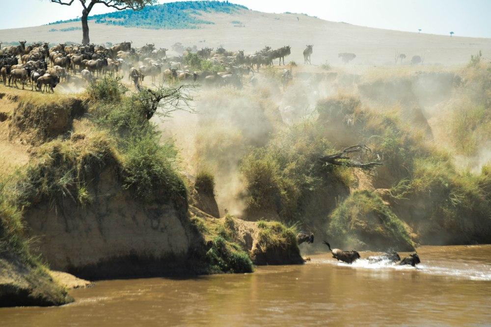 Wilderbeest_migration@Mara