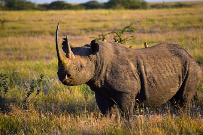 Black rhino@Lewa conservancy
