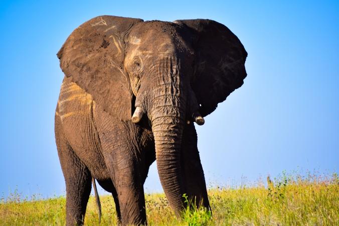 Elephant bull@Lewa conservancy