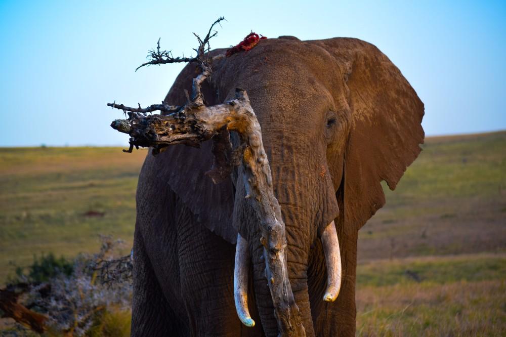 Elephant@Lewa conservancy