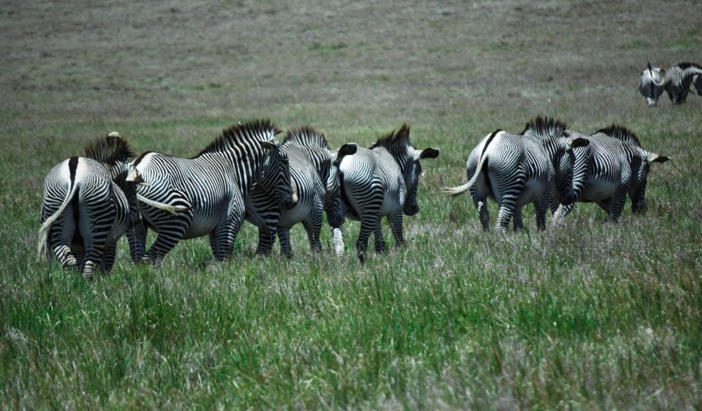 Grevy Zebra in Lewa conservancy