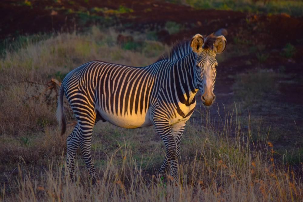 Grevy Zebra@Lewa conservancy