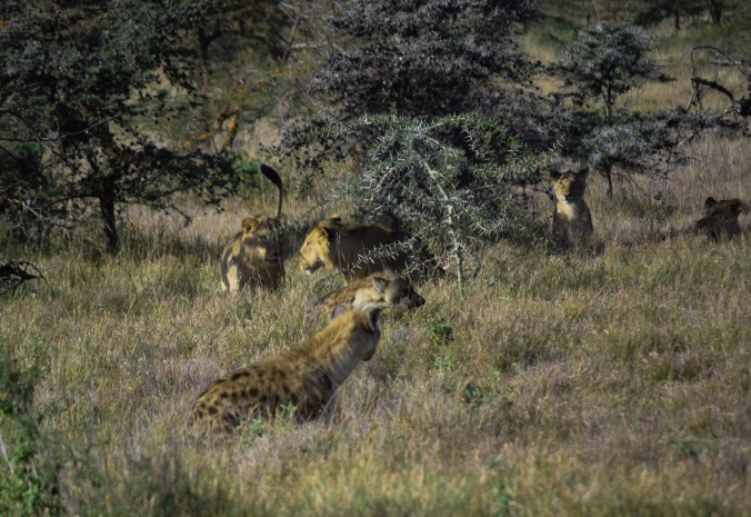 Hyenas stealing lions food@Lewa conservancy