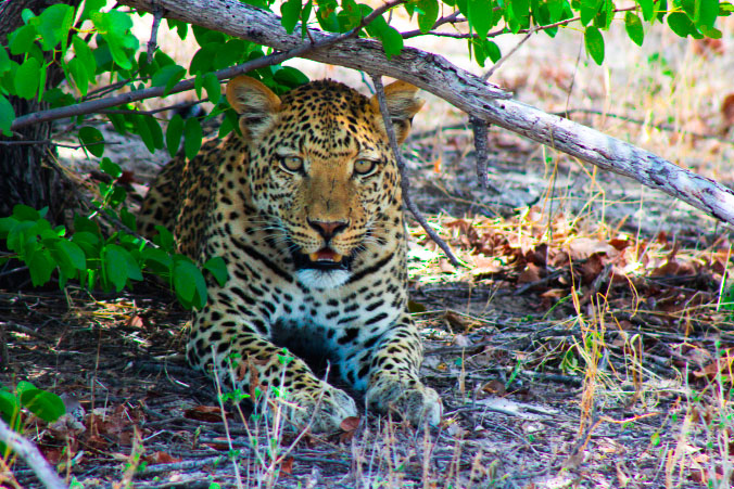 leopard-safaris