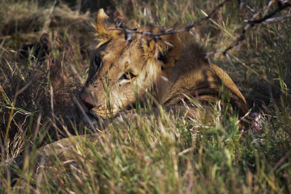 Lion@Lewa conservancy