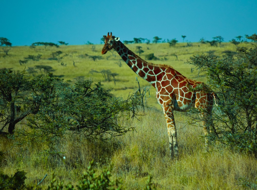 Reticulated Giraffe@Lewa conservancy