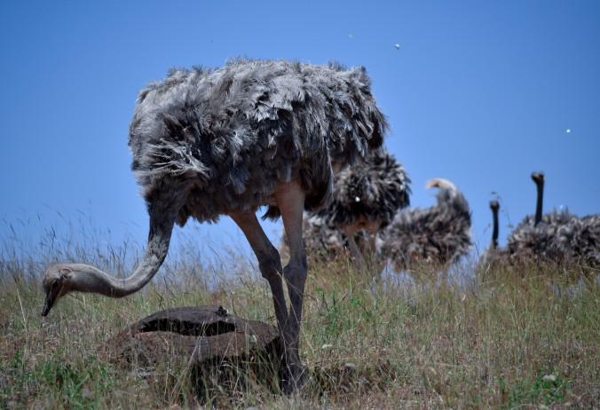 Somali Ostrich@Lewa conservancy