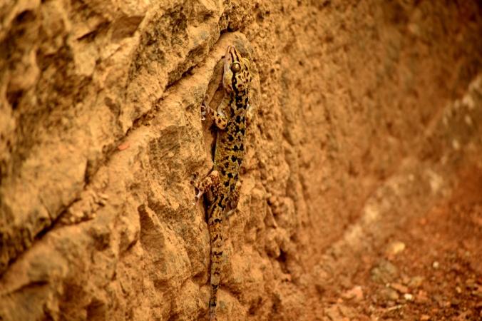 Cave lizard_Sanjay Gandhi National Park_Mumbai