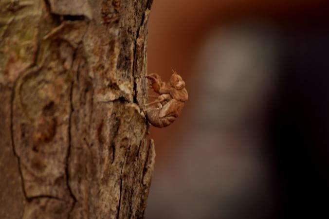 Cicada_Sanjay Gandhi National Park_Mumbai