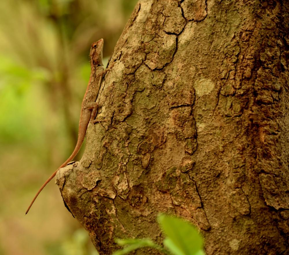 Female lizard_Sanjay Gandhi National Park_Mumbai
