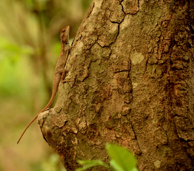 Female lizard_Sanjay Gandhi National Park_Mumbai