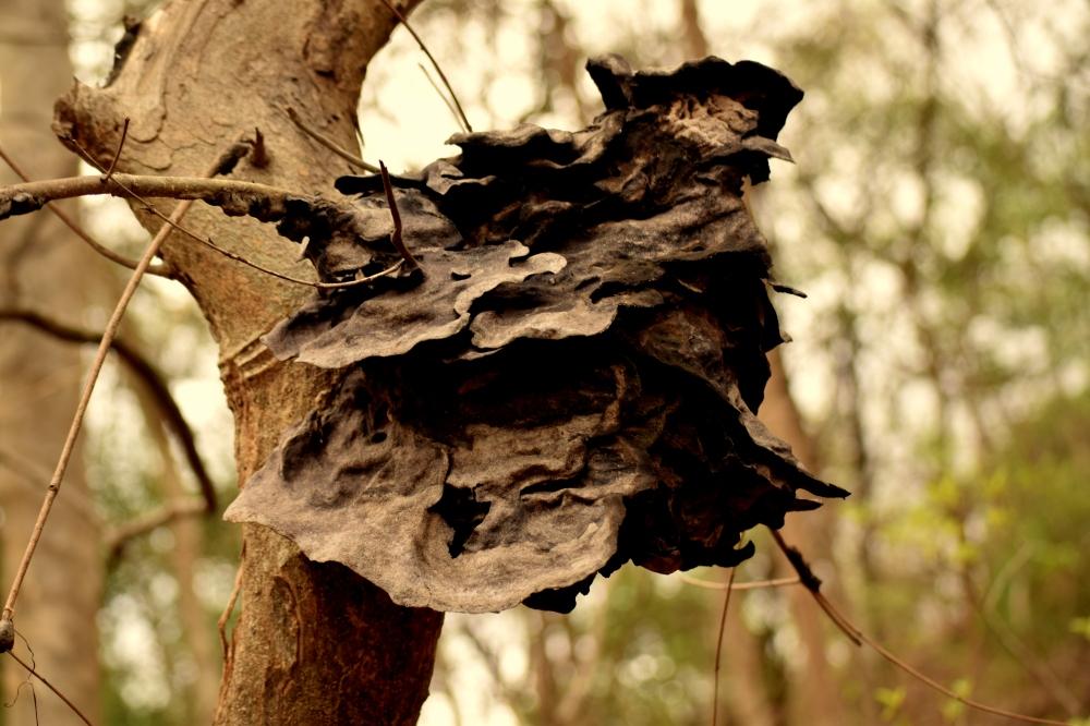 Nest of Pagoda ant_Sanjay Gandhi National Park_Mumbai