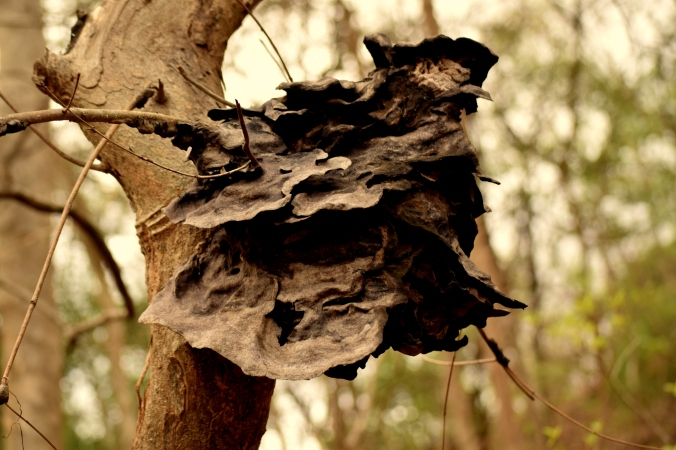 Nest of Pagoda ant_Sanjay Gandhi National Park_Mumbai