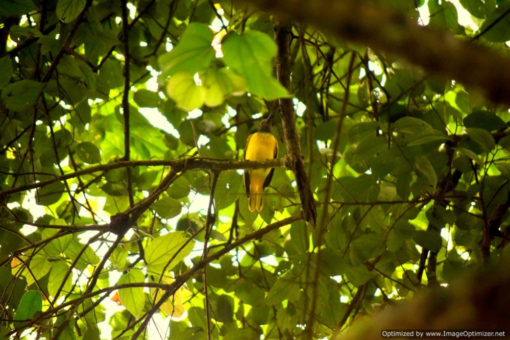 Golden Oriole_Olaulim_Goa