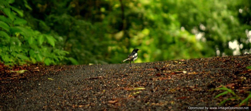 Oriental Magpie_Olaulim_Goa