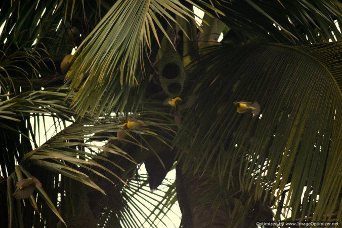 Weaver bird_Olaulim Goa