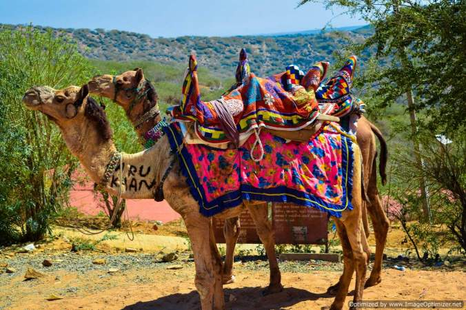 decored-camel-in-kalo-dungar