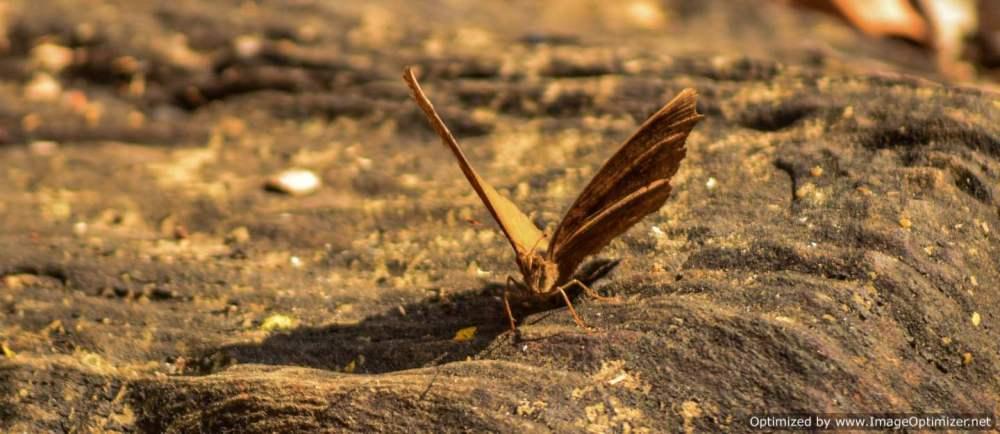 chocolate-pansy-butterfly_dandeli