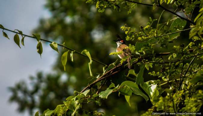 crested-nightingale_dandeli