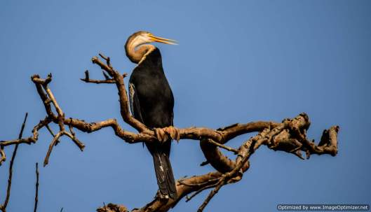 Darter or Snake bird spotted during coracle ride on Kali river