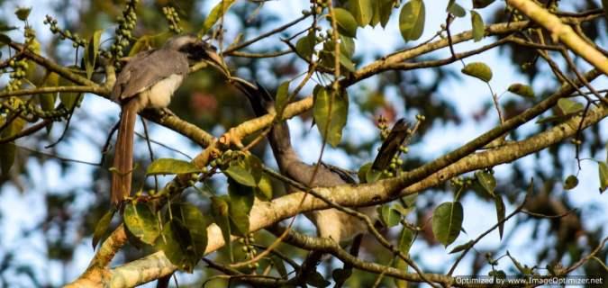 grey-hornbills_dandeli