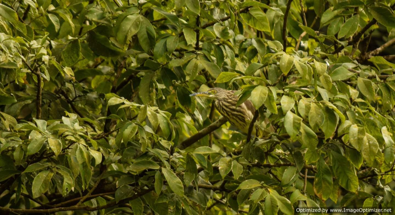 night-heron_kali-tiger-reserve