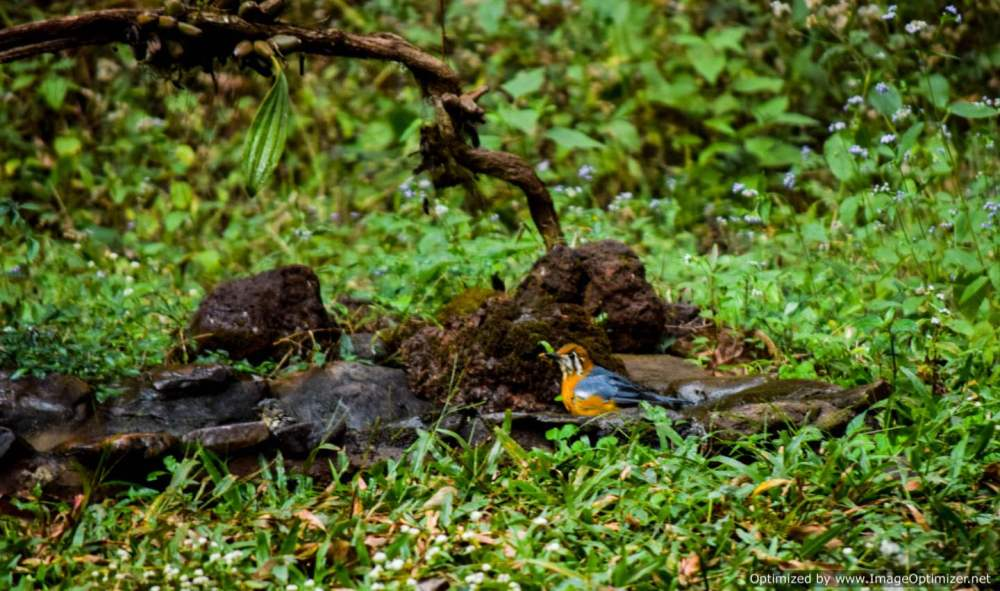 orange-headed-ground-thrush_birdingold-magazine-house_dandeli