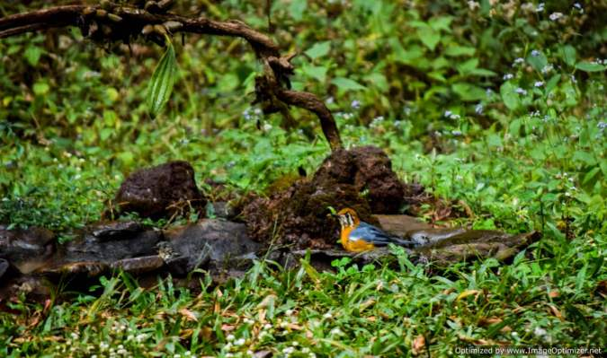 orange-headed-ground-thrush_birdingold-magazine-house_dandeli