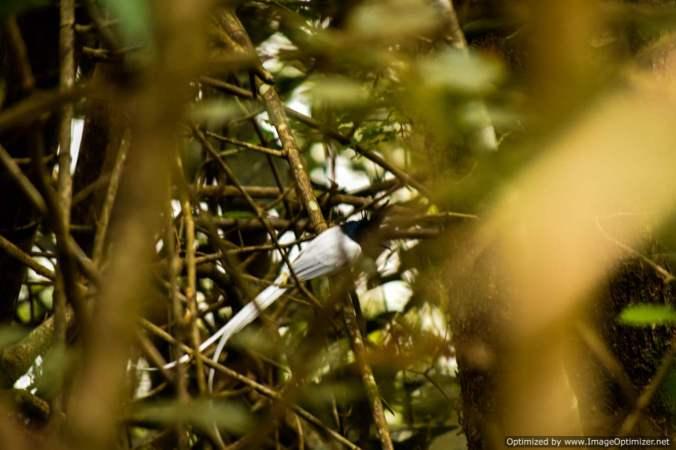 paradise-flycatcher_a-rare-bird_dandeli