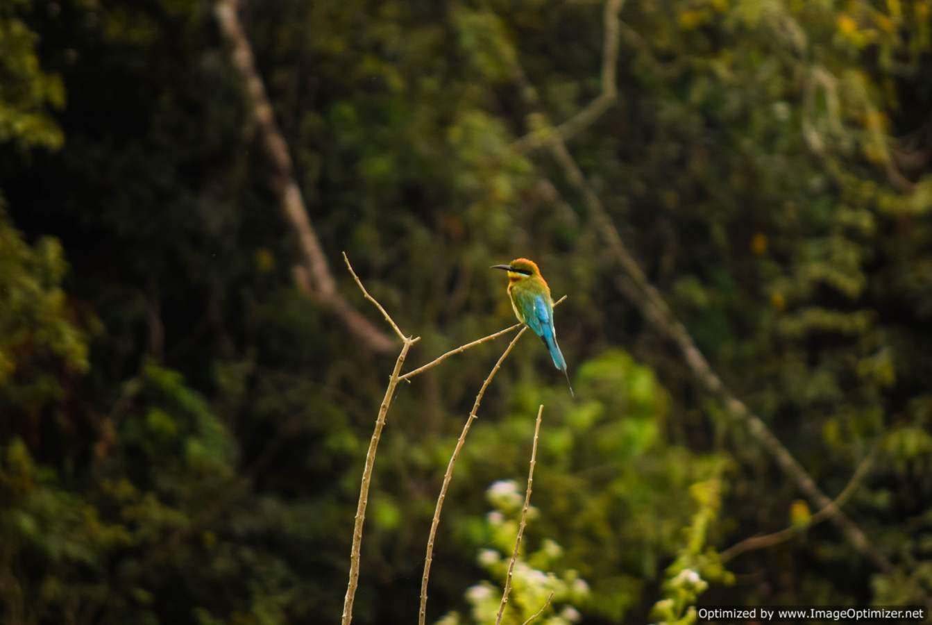 rainbow-bee-eater_dandeli
