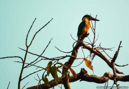 White throat Kingfisher spotted during coracle ride