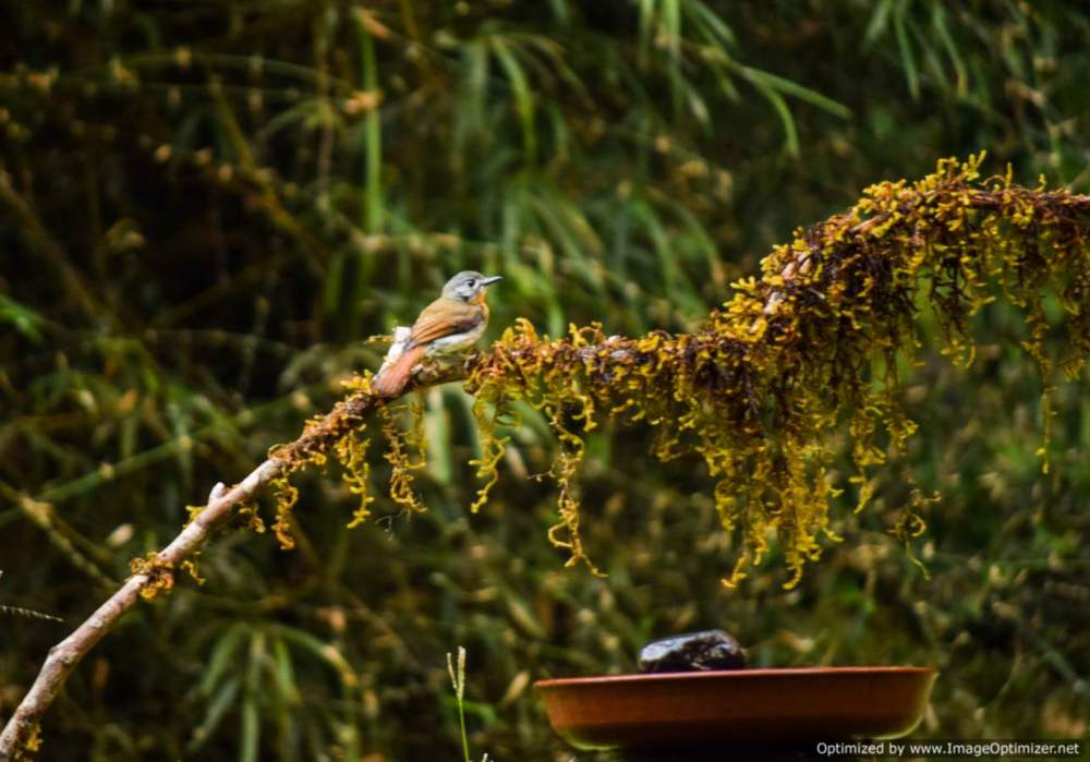 yellow-throated-fulvetta_old-magazine-house_dandeli